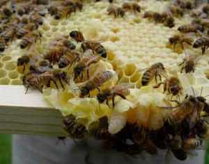 honey bees getting down to business, as a social enterprise